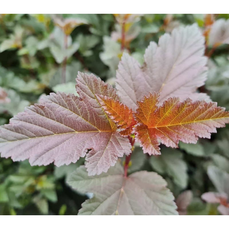 Physocarpus opulifolius 'All Red' - leaves in August