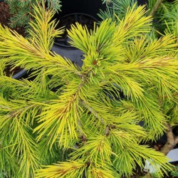 Picea smithiana 'Sunray' - foliage in early September