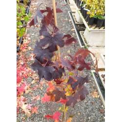 Liquidambar styraciflua 'Black Beauty' - autumn colour