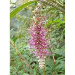 Rostrinucula dependens - flowers