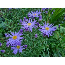 Aster amellus 'King George' - flowers in late summer