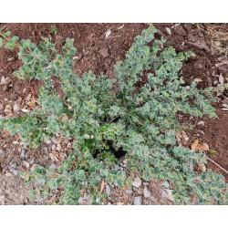 Correa reflexa var. nummulariifolia 4 year old plant