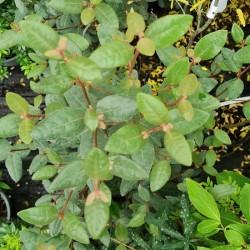 Correa lawrenceana - foliage in late summer