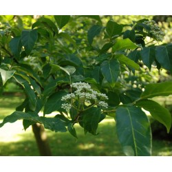 Tetradium daniellii - flower