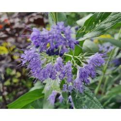 Caryopteris x clandonensis 'Heavenly Blue' - flowers in late summer
