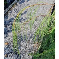 Chamaecyparis lawsoniana 'Imbricata Pendula'