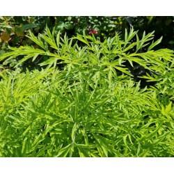 Sambucus nigra 'Golden Tower' - golden-green leaves in summer