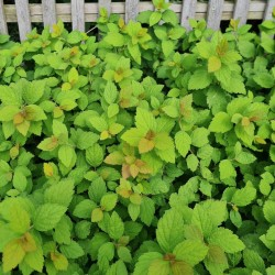 Spiraea x 'Sparkling Champagne' - leaves in late summer