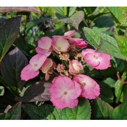 Hydrangea serrata 'Daredevil' - flowers in August