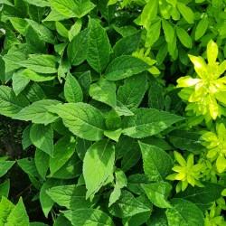 Hydrangea serrata 'Veerle' - summer leaves