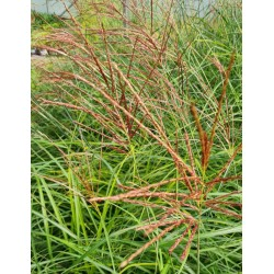 Miscanthus 'Red Zenith' - flowers in September