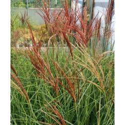 Miscanthus 'Sunlit Satin' - flowers in September