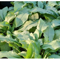 Pulmonaria 'Majeste' - leaves in late summer