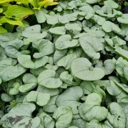Brunnera macrophylla 'Looking Glass' - leaves in late summer