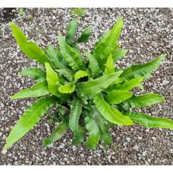 Asplenium scolopendrium - fronds in late summer