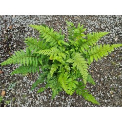 Polystichum makinoi - fronds in September