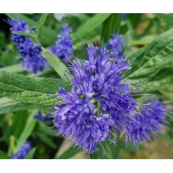 Caryopteris x clandonensis 'Kew Blue' - flowers in late summer