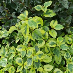 Olearia 'Moondance' - variegated leaves in late summer