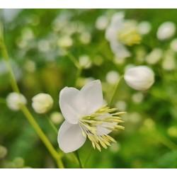 Thalictrum 'Splendide White' - flowers in summer (close up)