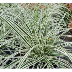 Carex oshimensis 'Everest' - variegated leaves in late Summer