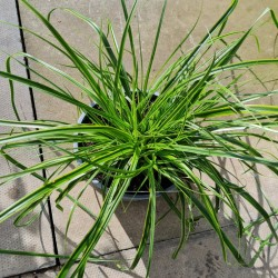 Carex oshimensis 'Everlime' - variegated leaves in late summer