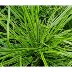 Carex oshimensis 'Everlime' - leaves close up