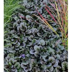 Ajuga reptans 'Black Scallop' - dark leaves in late summer