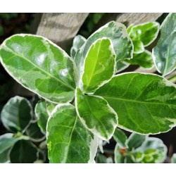 Euonymus japonicus 'Kathy' - Variegated leaves