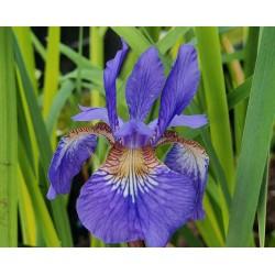 Iris sibirica 'Ego' - flowers in early summer