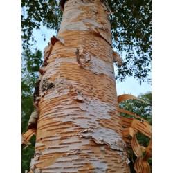 Betula x 'Fetisowii' - bark in late summer