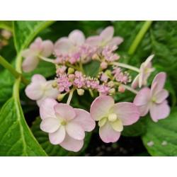 Hydrangea serrata 'Veerle' - flowers in summer
