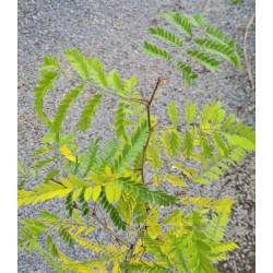 Gleditsia caspica - leaves changing colour in autumn