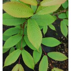 Acer carpinifolium - hornbeam-like leaves close up