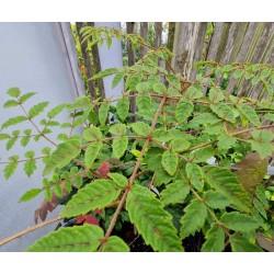 Aralia decaisneana - leaves in late summer
