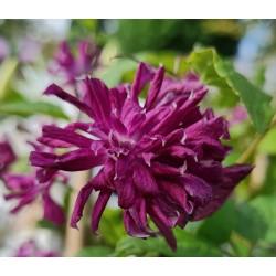 Clematis viticella 'Purpurea Plena Elegans' - flowers in late summer