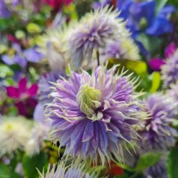 Clematis 'Blue Light' - flowers in late summer