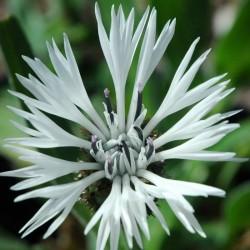 Centaurea montana 'Alba' - flowers in early summer