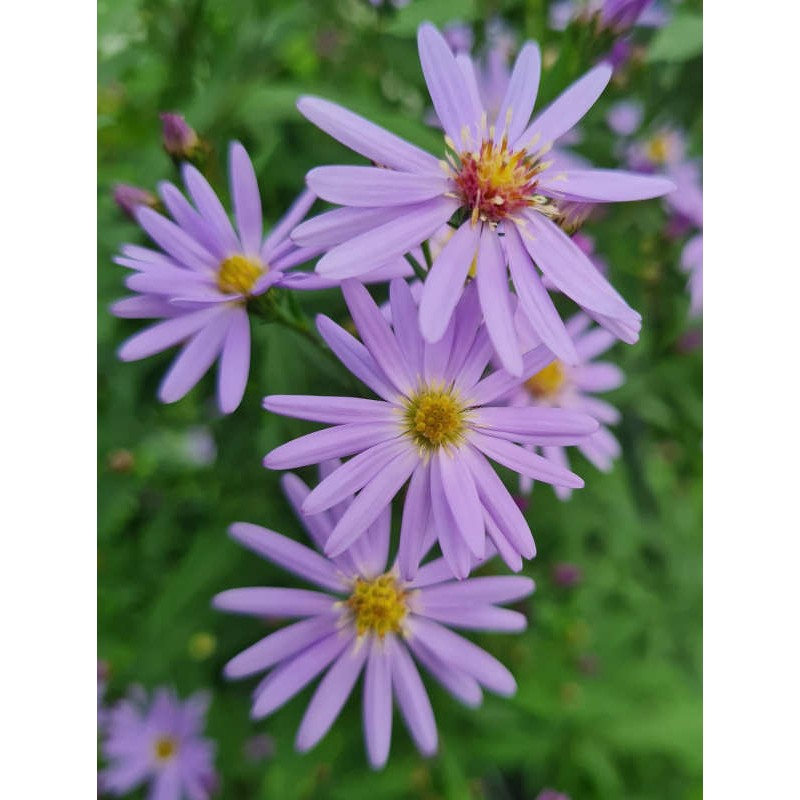 Aster 'Little Carlow' - flowers in late summer close up