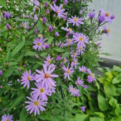 Aster 'Little Carlow' - flowers in late summer
