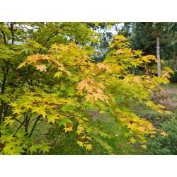 Acer palmatum 'Eddisbury' - autumn colour