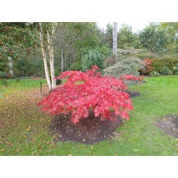 Acer palmatum 'Westonbirt Red' - autumn colour