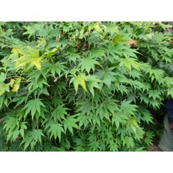 Acer palmatum 'Autumn Glory' - summer leaves