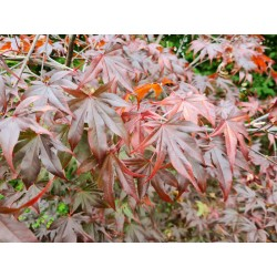 Acer palmatum 'Emperor 1' - leaves in early autumn