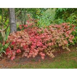 Acer palmatum 'Westonbirt Orange'