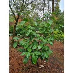 Magnolia 'Sir Harold Hillier' - green summer leaves