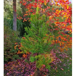 Taxodium distichum 'Peve Minaret' - established plant in early October
