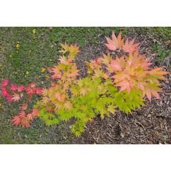 Acer shirasawanum 'Jordan' - autumn colour starting in October