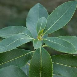 Arbutus 'Marina' - evergreen leaves