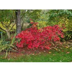 Acer palmatum 'Westonbirt Orange' - autumn colour