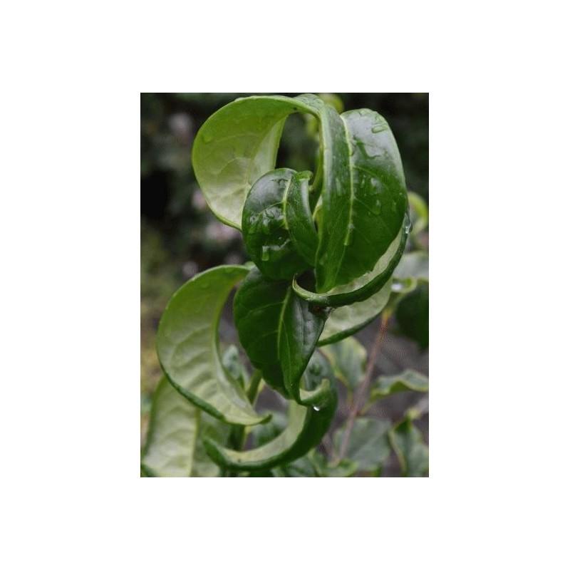 Prunus laurocerasus 'Camelliifolia' - close up of leaves